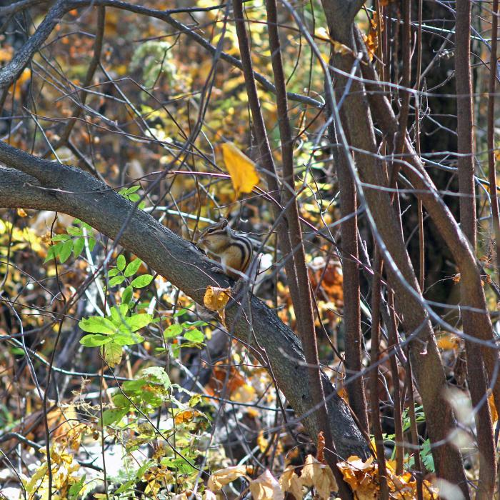Бурундук осенью в лесу:)