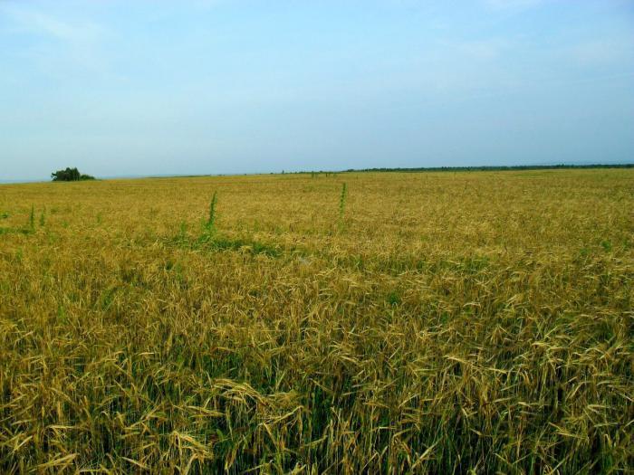 Красивые у нас поля!