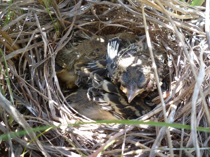 Птенцы желтоголовой трясогузки
