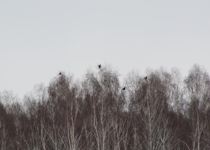 Мартовские косачики