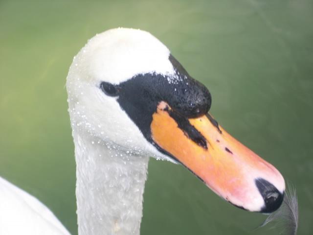 Настыный лебедь 1
