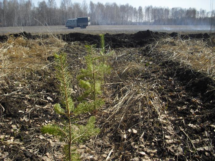 Защита лесных культур мин.полосой от пожара.