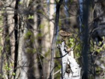Лесной дупель, токующий на сушине