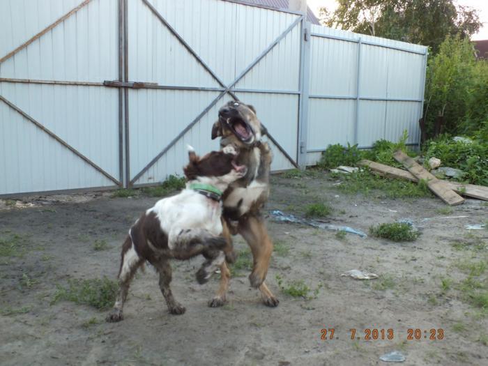 Кто сказал что АСС не бойцовая собака?