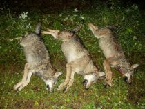2 волка и волчица....