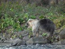 Серебристый медведь