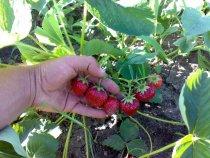 Вот такая ягода растет возле домика в деревне.