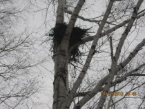 Гнездо на березе
