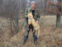 пять минут гона и лисица в руках.
