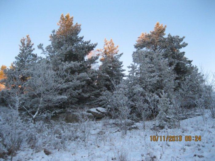 Первый серьезный снегопад укрыл сосны снегом