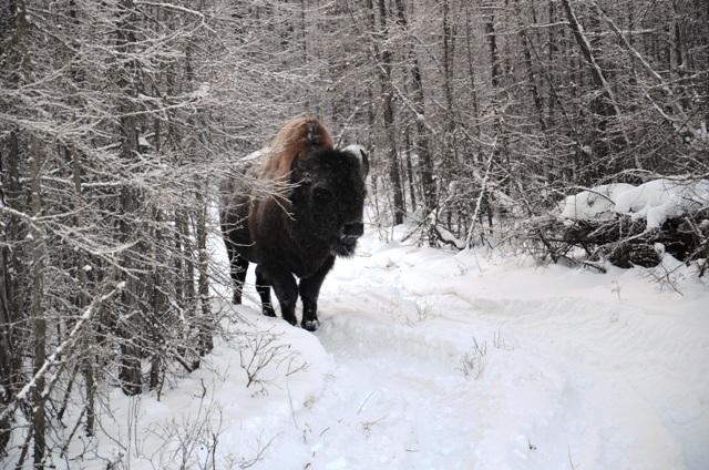Встреча в якутской тайге Трасса м56 140 км