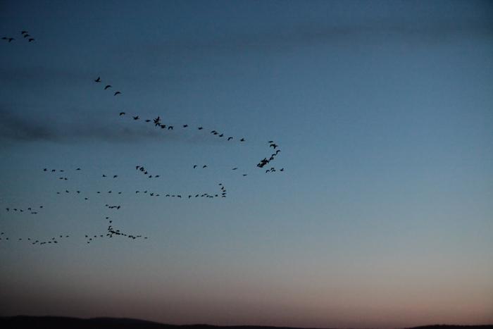 Гуси возвращаются с полей