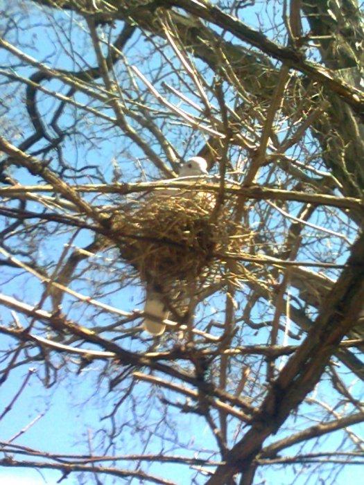 Горлица на гнезде.
