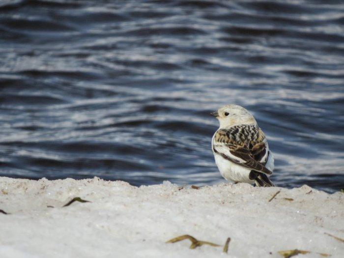Пуночка (Снежный подорожник)