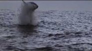 Great White Shark Compilation HD