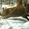 Городецкий разрешил безлимитный отстрел кабанов в Новосибирской области