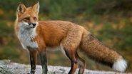Охота на лис -  Fox Hunting   2014