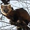 Свыше трех тысяч соболей могут добыть в зимнем сезоне охотники Приангарья