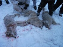Три волчицы