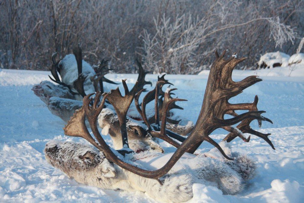 Охотничьи трофеи Севера