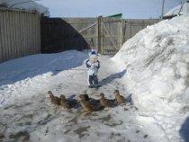 Утки на прогулке с будущем охотником!