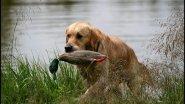 Охота на пернатую дичь с собакой. CANADA IN THE ROUGH. HUNTER_TV