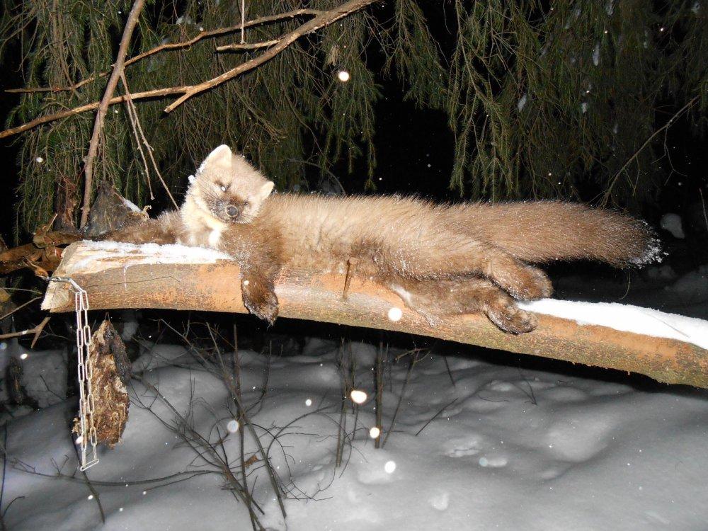 Промысел лесной куницы 15.02.2015г