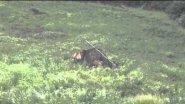 Самка изюбря с 2-х недельным теленком