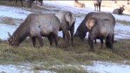 Охота на пятнистого оленя (Алтай)
