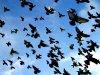 Охота на голубей