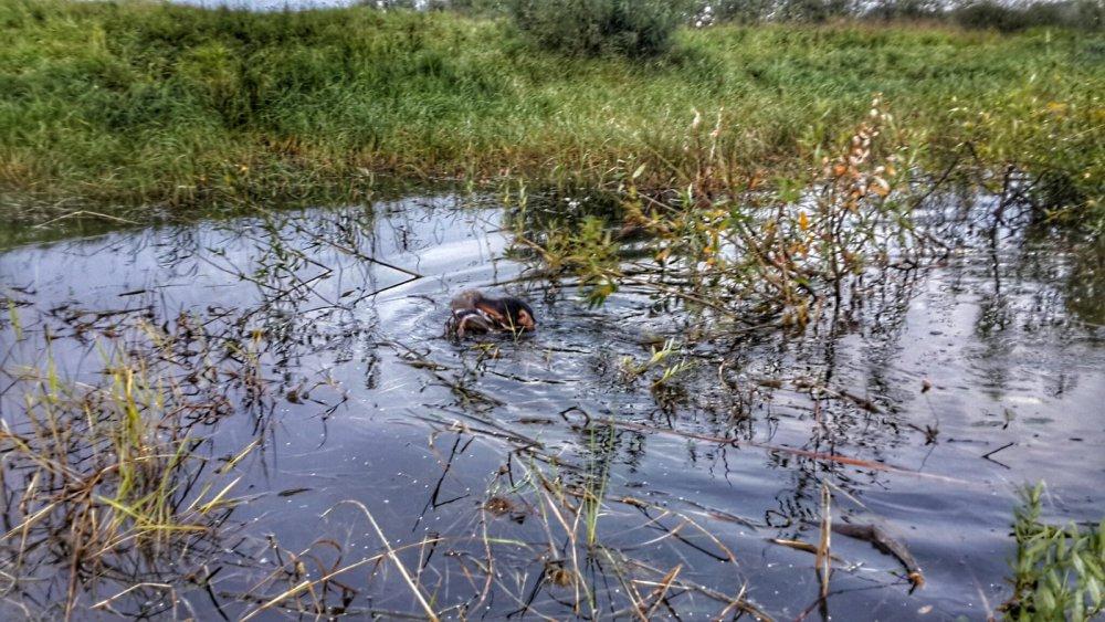 первая охота Райса (5 мес.) Работа по утке. открытие охоты 15 августа 2015г.