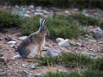 Заяц - он везде заяц (Зап.Тибет)