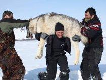 Камчатка. Полярный Волк.