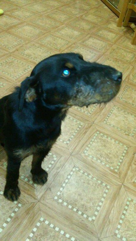 Кадрус-1,6 года.. После боевой двухдневной охоты на барсуков, в норе.