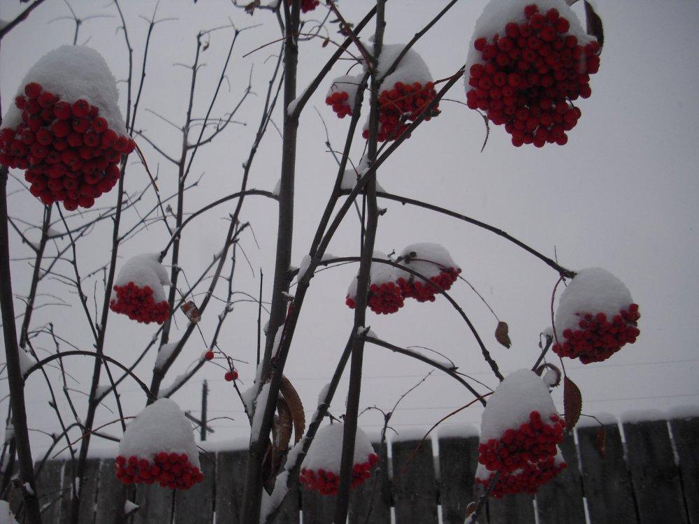 Рябина под первым снегом.