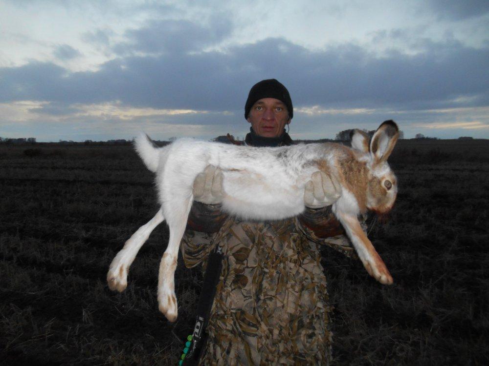 Вот такие зайцы - русаки водятся на Алтае