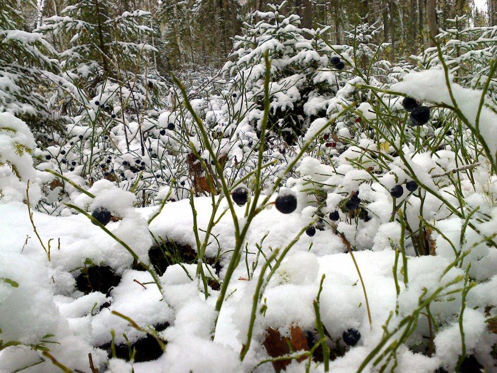 Ягодки на снегу