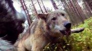 Бой волков против собаки Клары, снятый на GoPRo