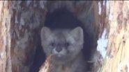 Соболь.Самый свирепый хищник сибири