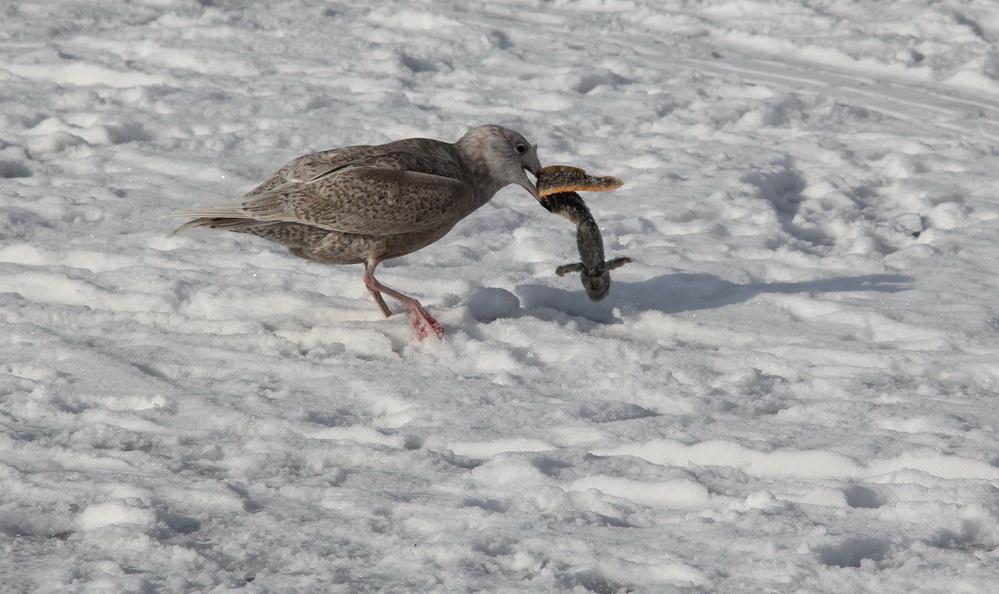 Чайка с бельдюгой