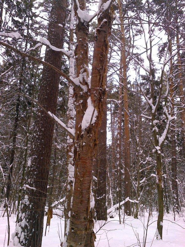 Черёмуха Маака в лесу