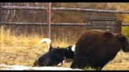 Работа якутских охотничьих лаек по медведю