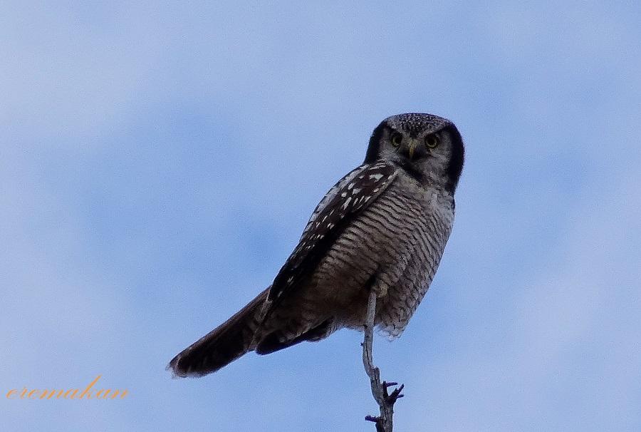 Ястребиная сова