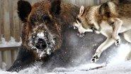 Охота на кабана. Таежный вепрь. Из цикла  |Охота на Руси|