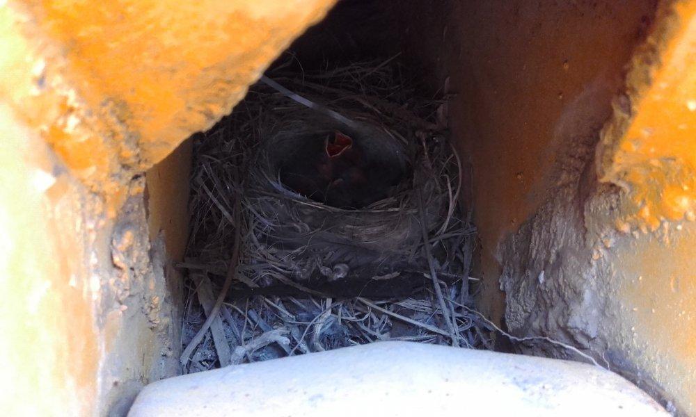 Гнездо  трясогузки