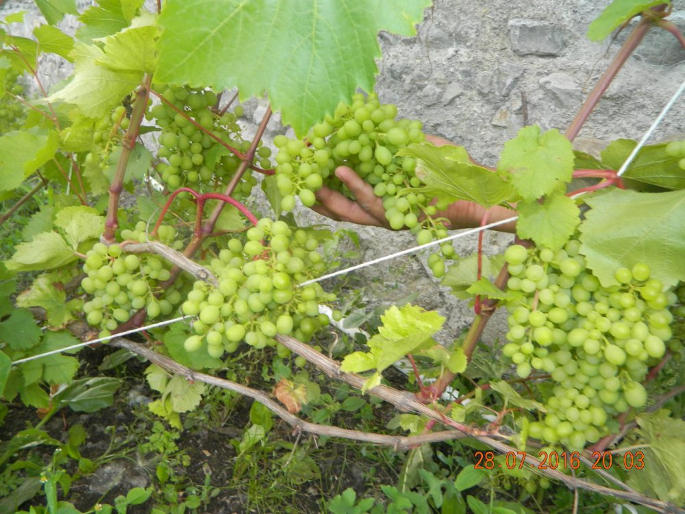 Башкирский виноград.