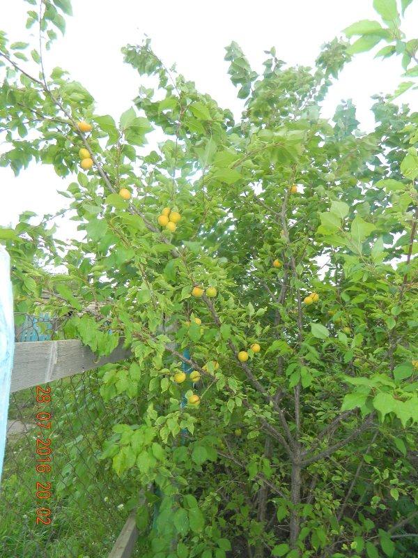 В саду абрикосы поспели.
