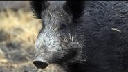 Охота на кабана без лицензии.