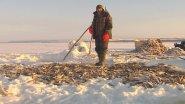 Зимняя промысловая рыбалка на Севере (загар рыбы).