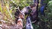 На кабана с собаками (Бразилия - 2016)